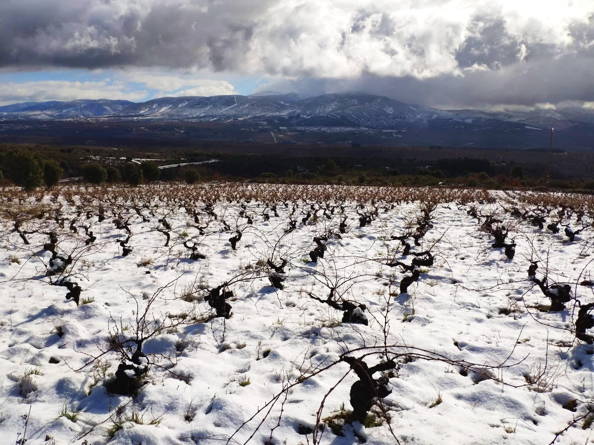 Nuestras viñas nevadas y a lo lejos los montes del bierzo